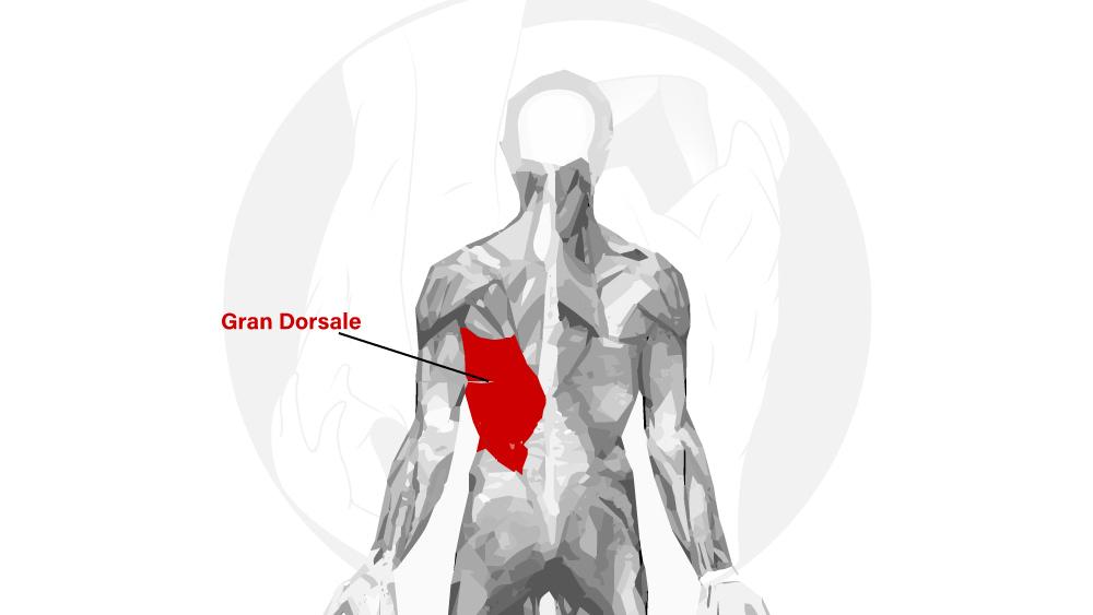 Gran Dorsale Anatomia