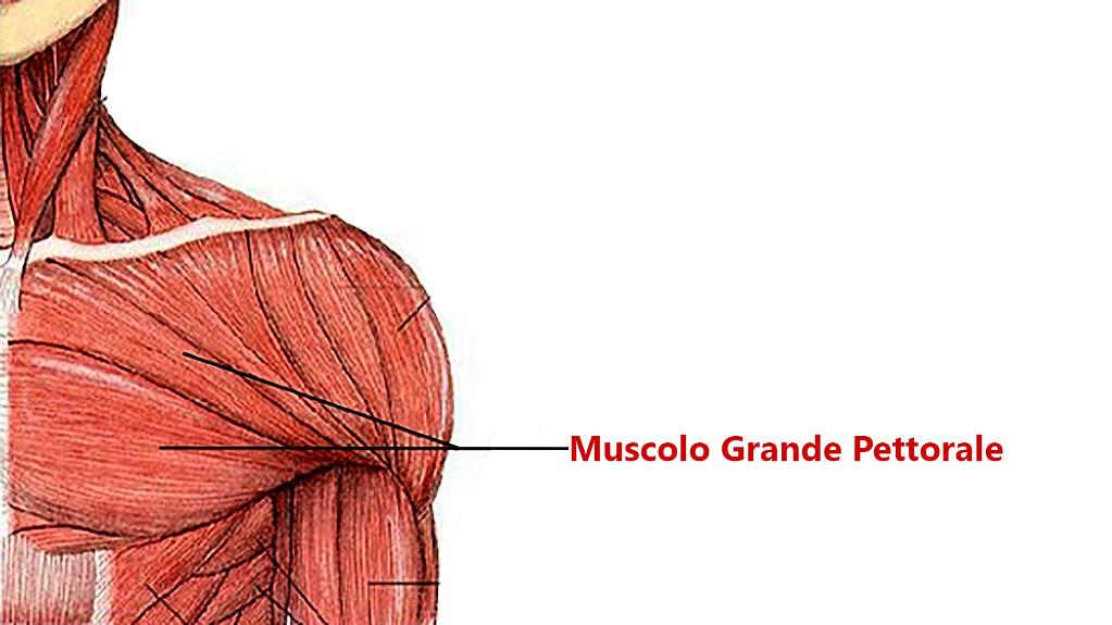 allenamento pettorali anatomia