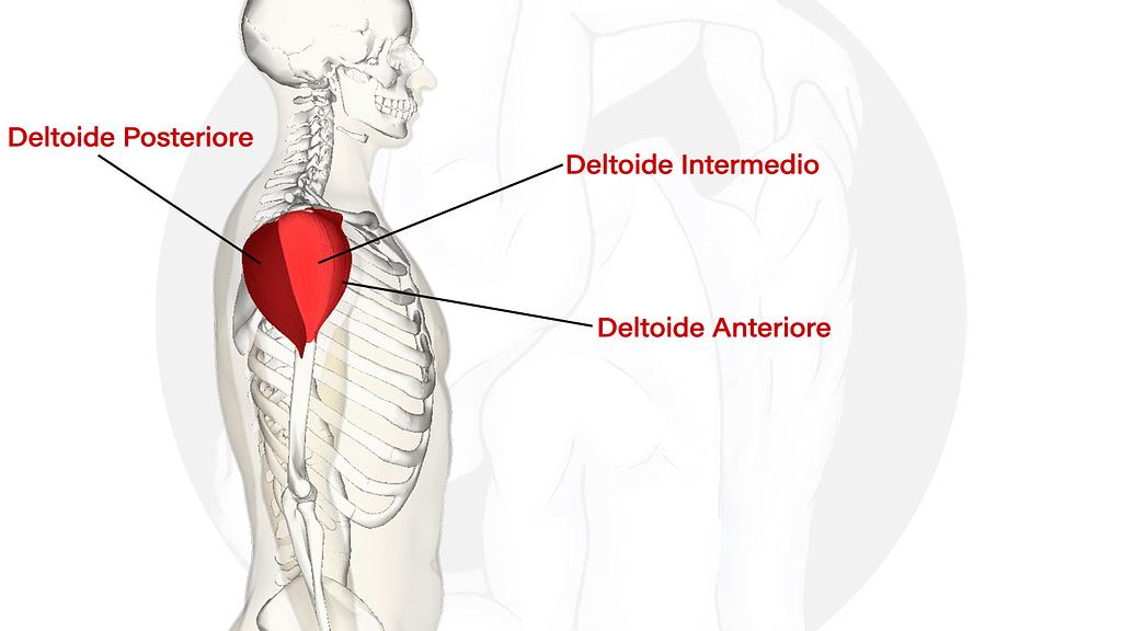 allenamento spalle deltoidi anatomia