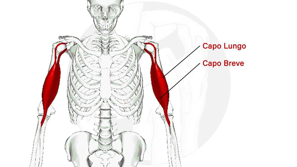 Bicipite Brachiale Anatomia